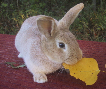 PETS Type Of Bunny Rabbit
