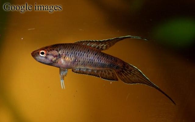 Malpulutta Kretseri - Ornate Paradisefish atau Spotted gourami