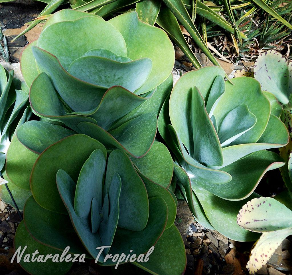 El caracol de m rmol kalanchoe thyrsiflora - Cuidados del marmol ...