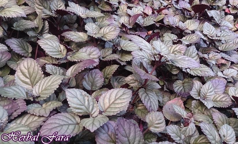 jual kapsul daun ungu herbal insani di sidoarjo surabaya