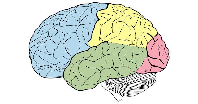 beyin görsel