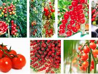Cara Menanam Tomat Chery Dalam Pot