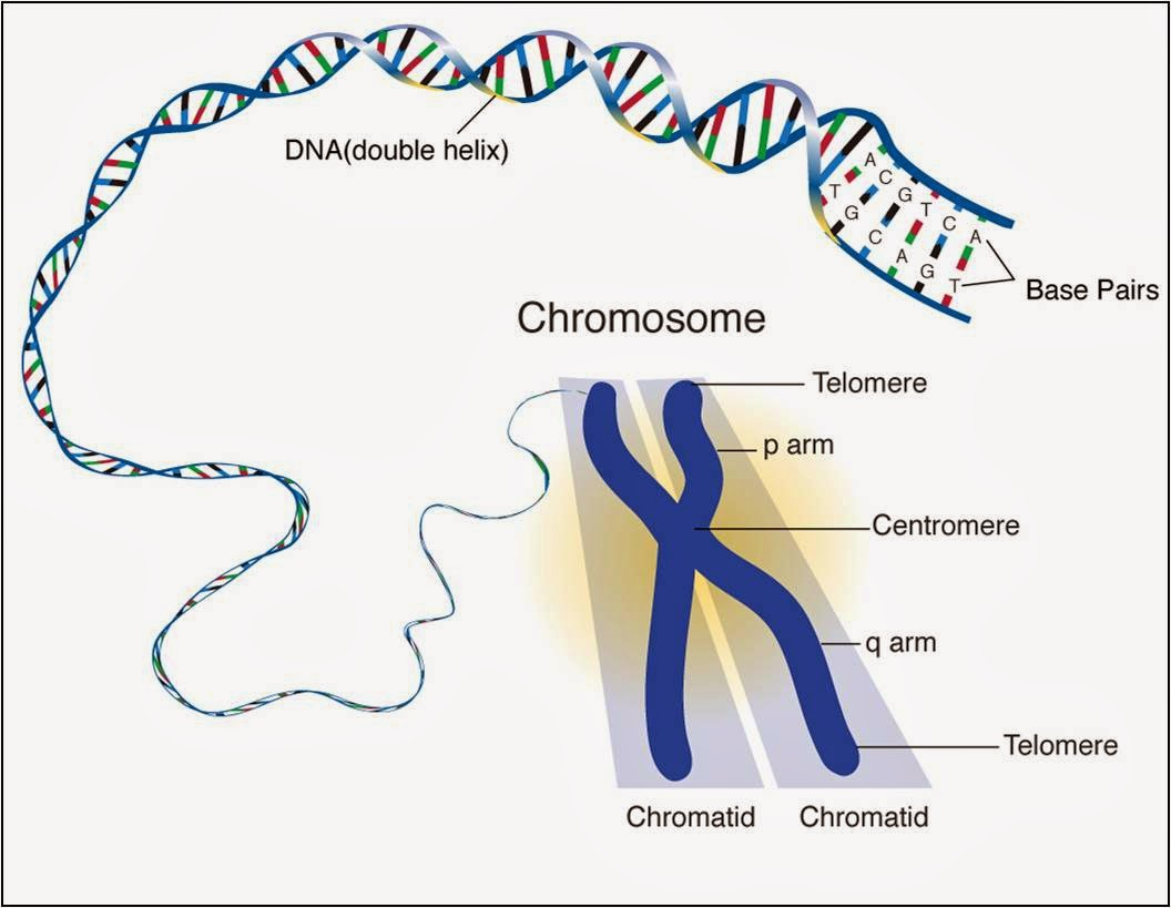 Chromosome Girl 127 Chromosomes Dna Genes And Alleles Biology Notes