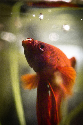 Cara Memberi Makan Ikan Cupang