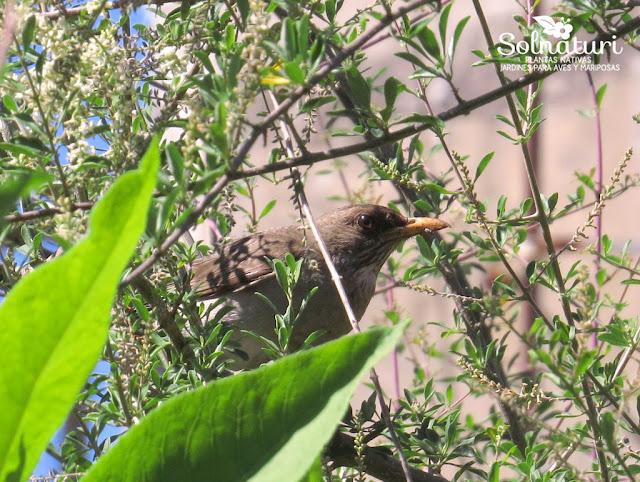 Turdus amaurochalinus  Zorzal Chalchalero
