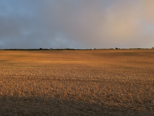 Golden evening light on stubble field in Dorset with hedge on horizon