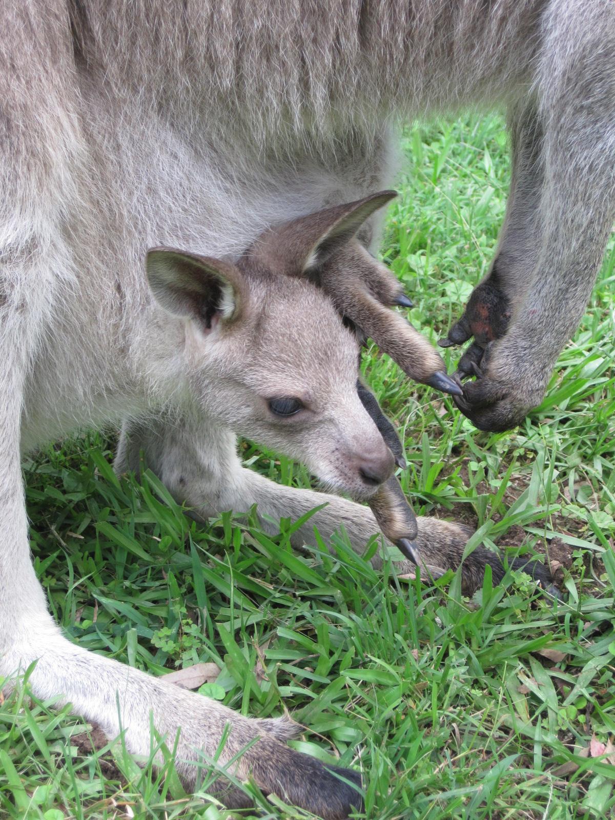 Kangaroos Of The Scrubby Bush Kangaroo Joey Pouches Merrilyn Part 2