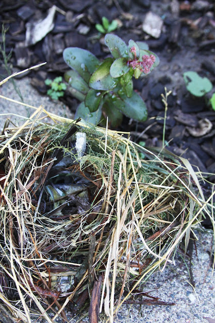birds, birdnest, bird's nest, nature, Anne Butera, My Giant Strawberry