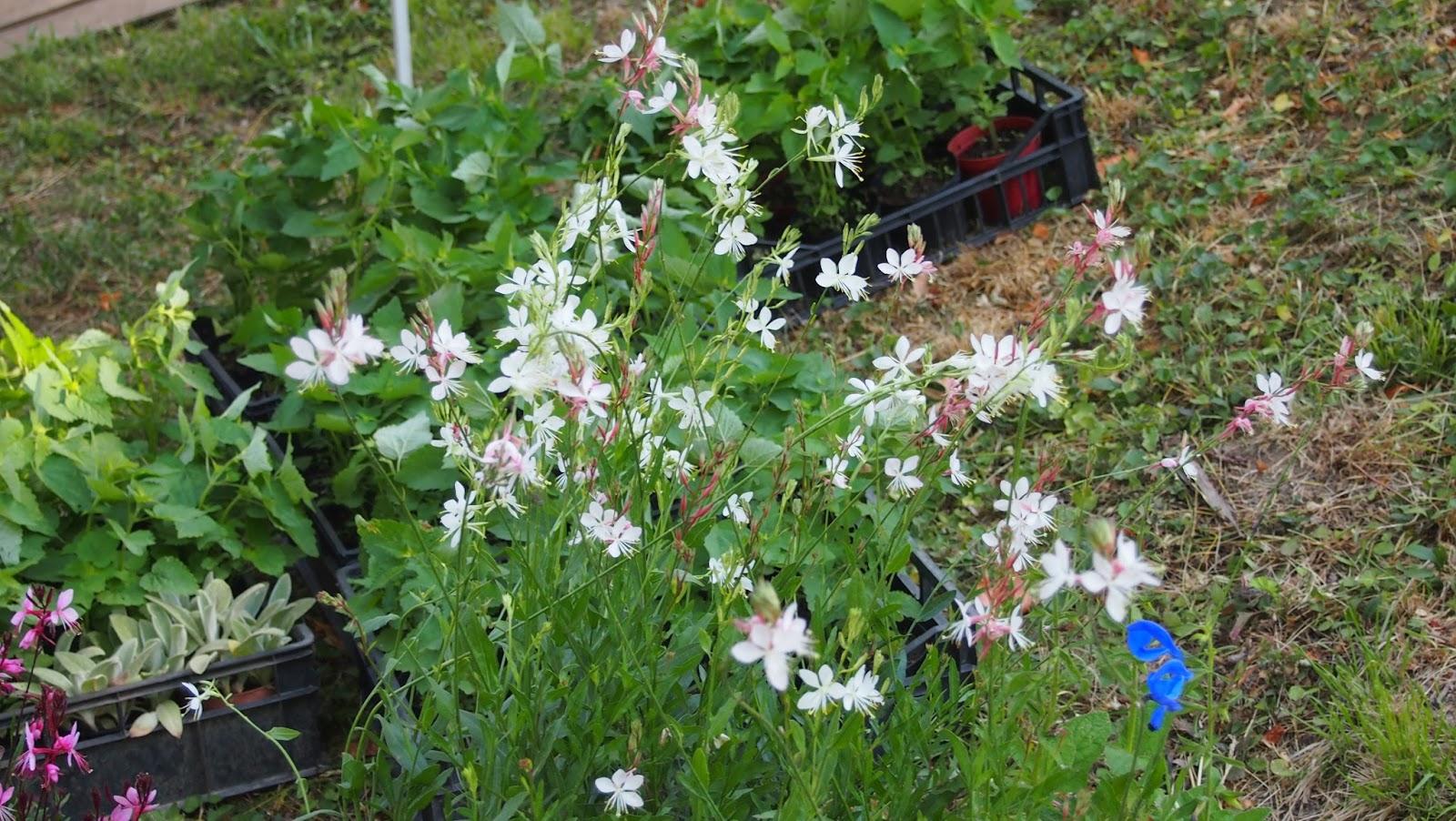 Piante Erbacee Perenni Da Ombra naturalmente giardino: fiorissima 2015