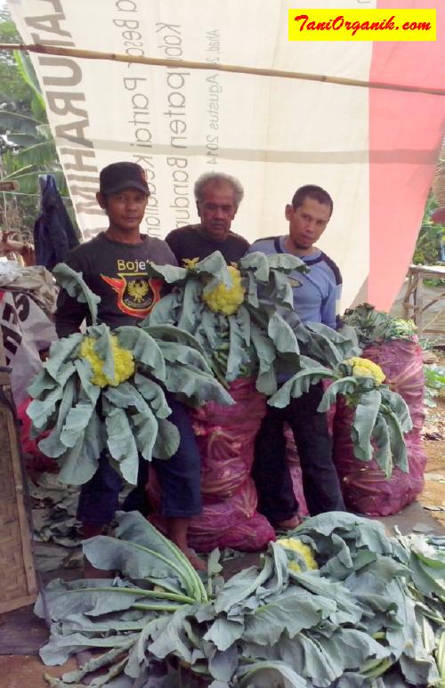 Pak Asep (berkaos biru) bersama rekan petani lainnya tengah mempertontonkan hasil panen bunga kolnya yang luar biasa besar. Pengaruh hormon dalam POC BMW sangat kentara dalam memacu pembentukan bunga kol.