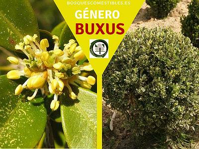 Lista de arboles en la Península del Género Buxus.