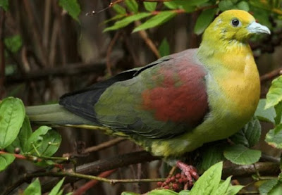 Mengenal Dan Mengetahui Tempat Sarang Burung Punai Di Alam Bebas Paling Lengkap
