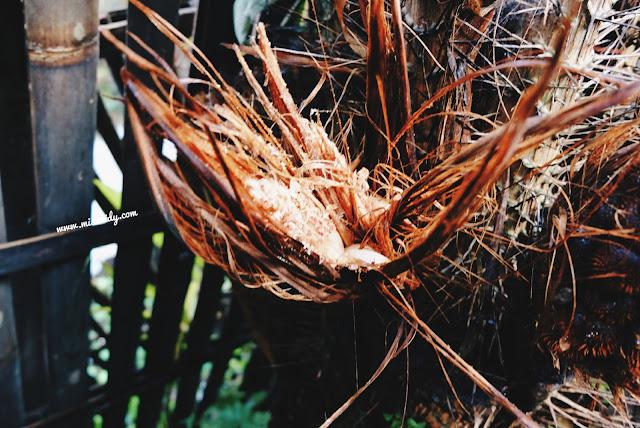 belajar cara menanam pohon salak