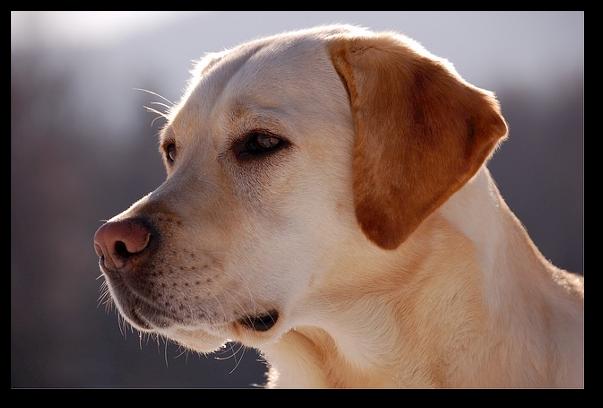 Nasul cainilor poate mirosi cancerul