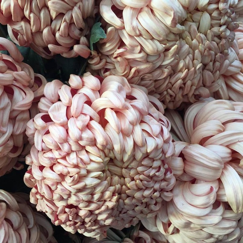 Chrysanthemum 'Copper Vienna' Thomas Bloom