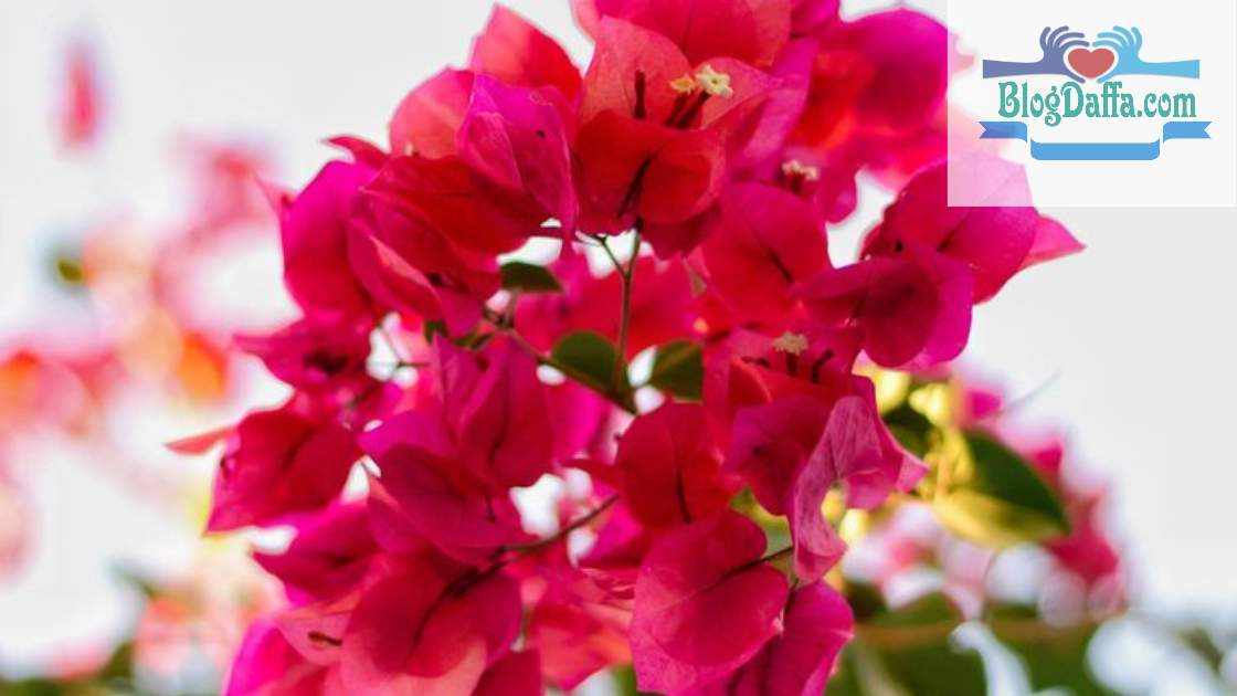 Macam macam bunga Bougenville