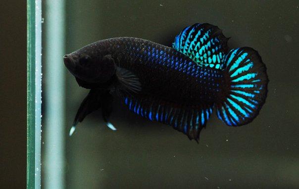 Jenis - jenis ikan Cupang - Mr Betta