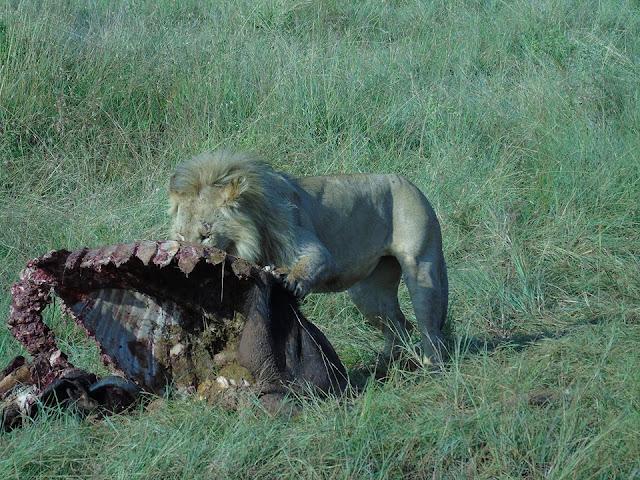 lion eating a kill masai mara kenya africa safari
