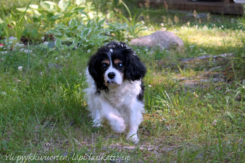 vanha koira, koira, lemmikki, 16-vuotias koira, tricolour, kennel, kennel Magnumin, cavalier kingcharlesinspaniel