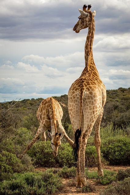 giraffe with kid giraffe
