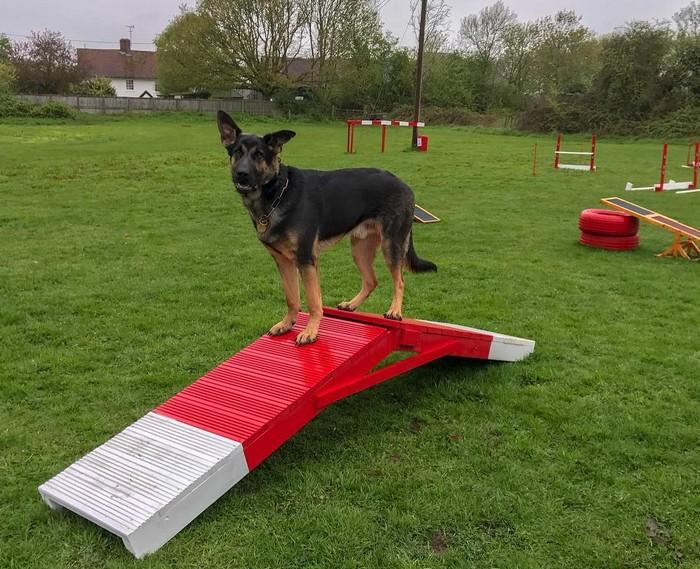 Le Berger Allemand et les sports canins