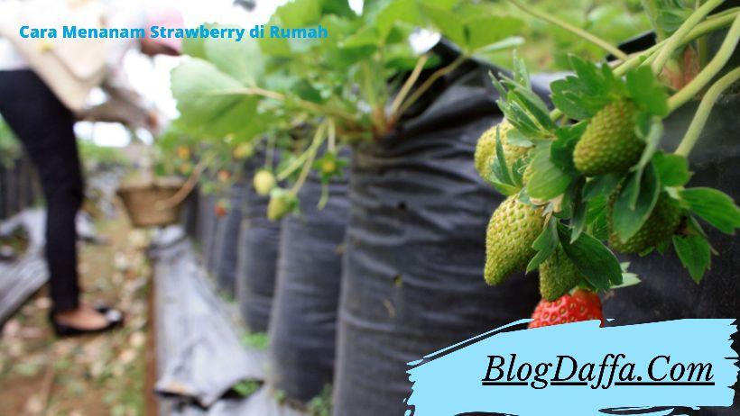 Cara Menanam Strawberry dengan Media Polybag