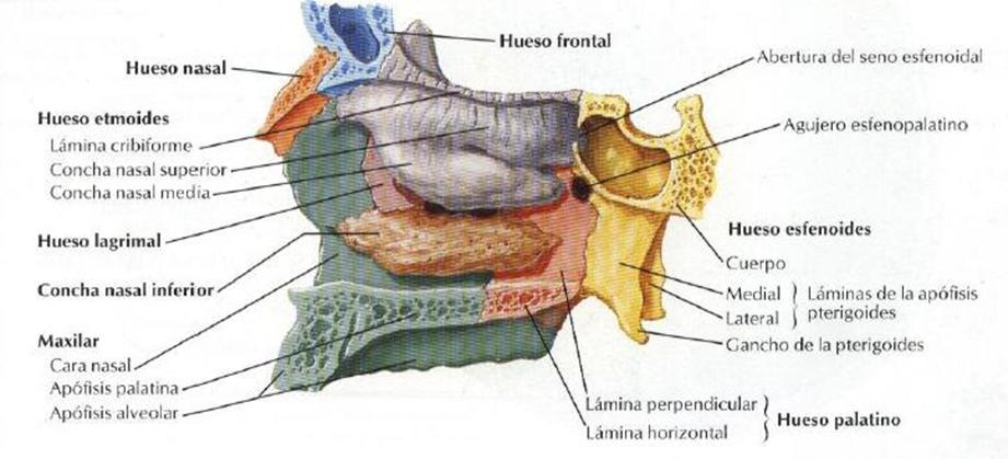 Anatomía del Cráneo y Cara: Huesos Pares de la Cara por María del ...