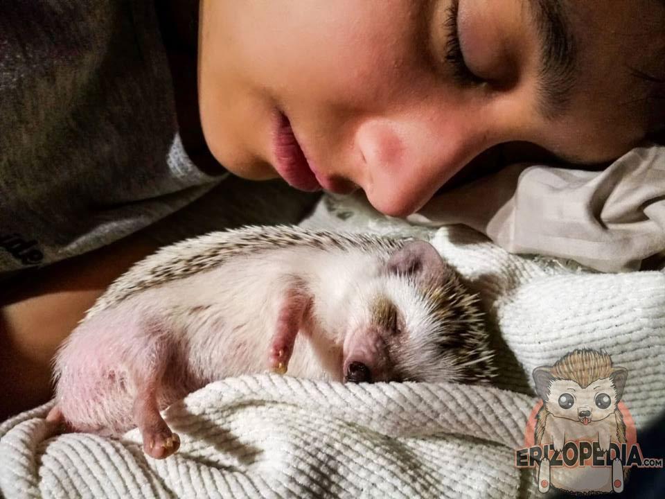 Eriza de tierra durmiendo junto a su dueña