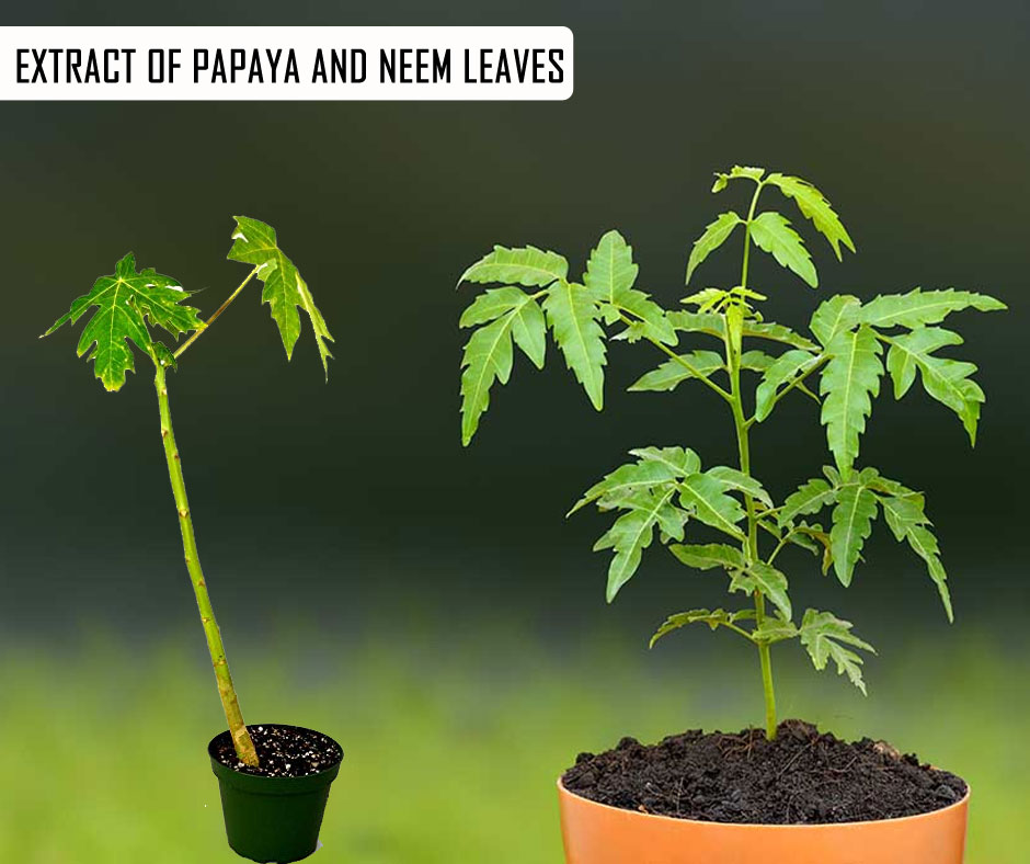 Extract of Papaya and Neem Leaves