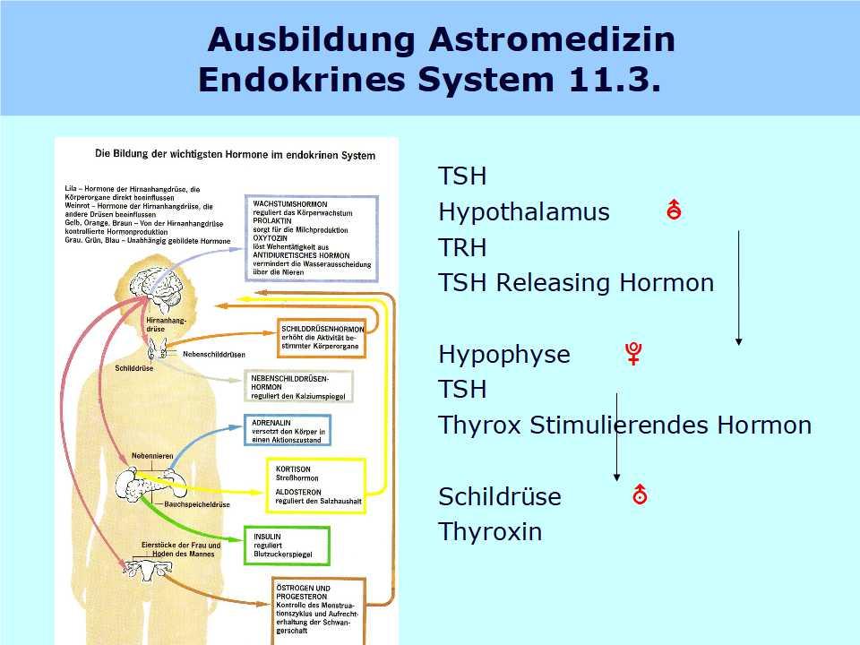 Nett Bilder Von Endokrinen Systems Zeitgenössisch - Menschliche ...