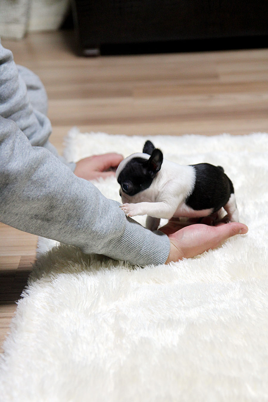 teacup french bulldog price teacup puppy teacup puppy for sale french bulldog bianco 3972