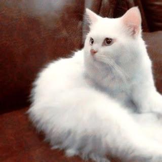 Gambar Kucing Persia Lucu 10008
