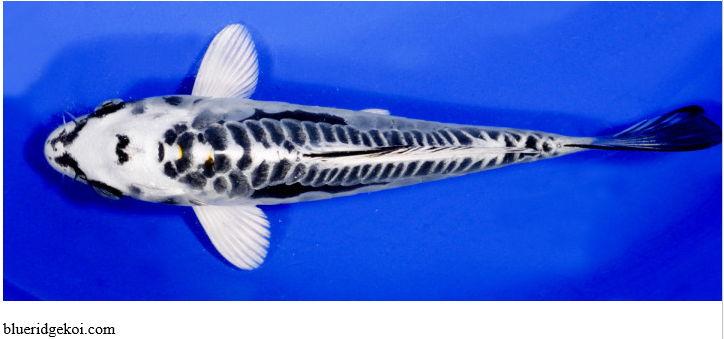 Gambar Ikan Koi Kikokuryu