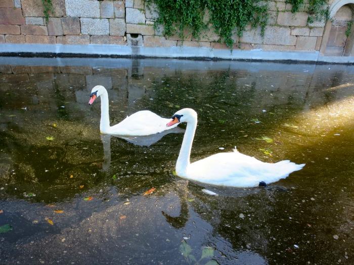 Casa da Ínsua - swans