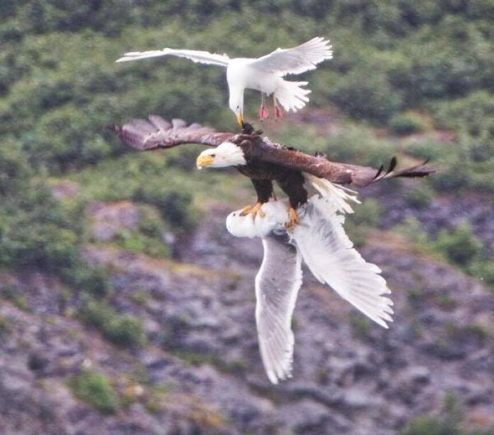 Wild Life Eagle catching Prey