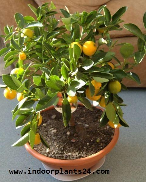 ClTROFORTUNELLA X MICROCARPUS Rutaceae CALAMONDIN PLANT IMAGE