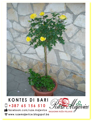 Žuta stablašica Kontes Di Bari