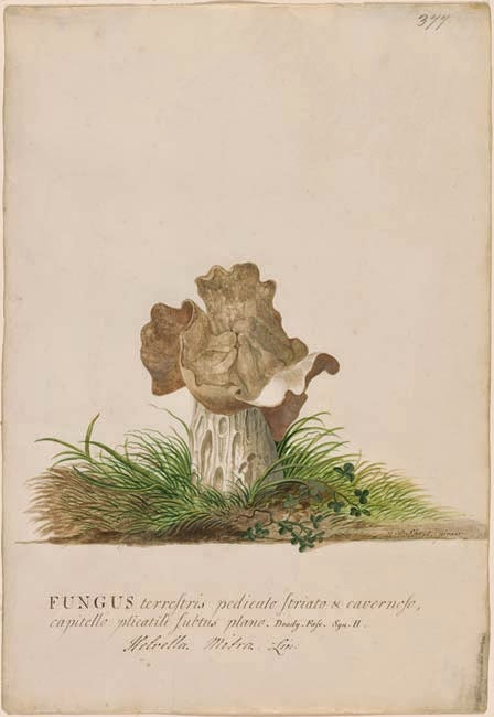 Helvella mitra water-colour by Ehret