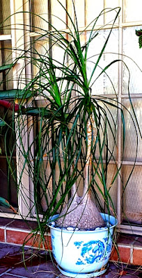 Air filtering plant Ponytail Palm (Beaucarnea recurvat)