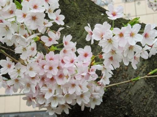 神田明神の桜07