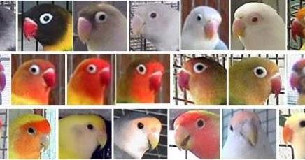 cara menghasilkan warna warna love bird