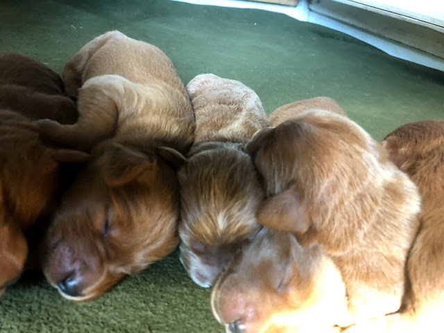 Daiseys Doodles Seattle F1 Medium Goldendoodle Puppies Are