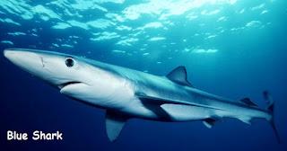 gambar moncong mulut blue shark