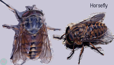 horsefly, horsefly insect