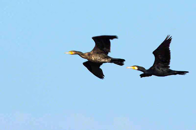 birds, flight, cormorants, pair