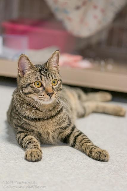 猫カフェ西国分寺シェルターにいた警戒心が強いキジトラの写真