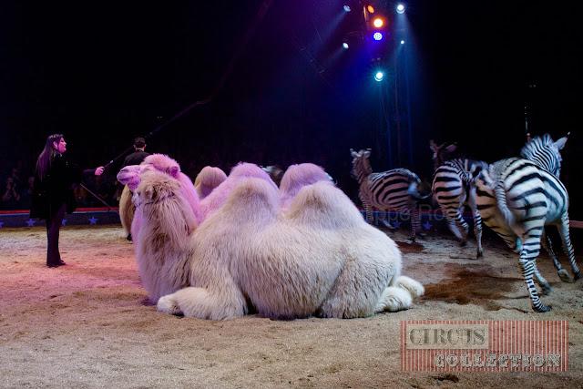 zebres et chameaux