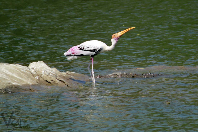 painted stork in close encounter with Crocodile