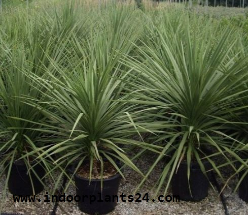 Agavaceae CABBAGE TREE photo