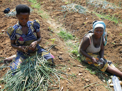 Curing onions after harvest is a women's duty in Bujumbura, Burundi